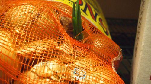 onions bag growth