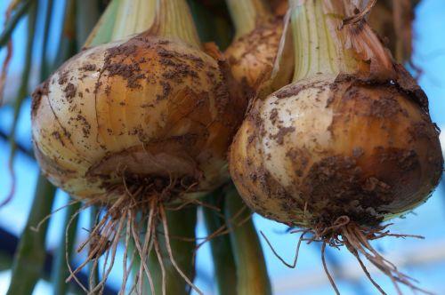 onions healthy food