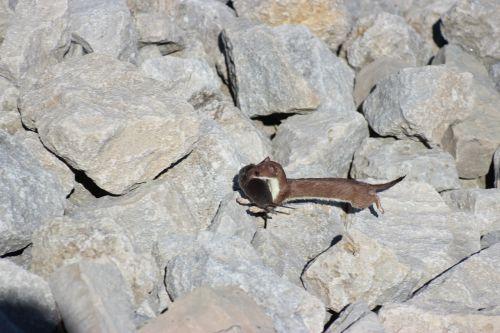 ontario weasel wild mammal