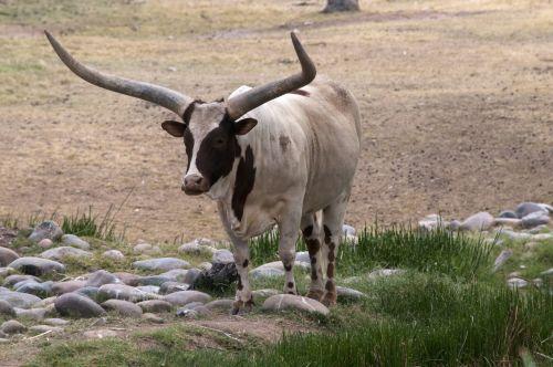Onyx Cow