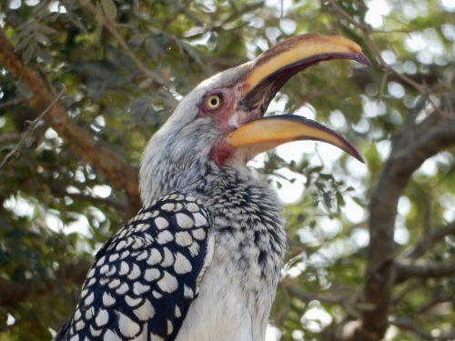 open mouth bananenvogel south africa