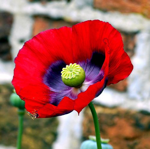 opium poppy poppy poppy flower