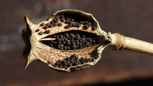 opium poppy  poppy  mohngewaechs