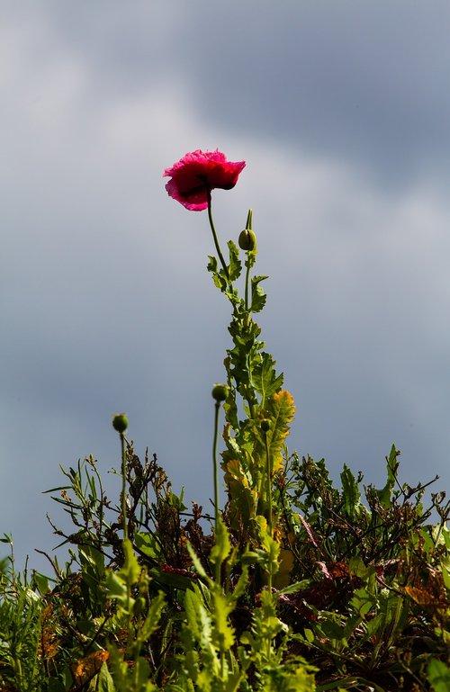 opium poppy  purple poppy  purple flower