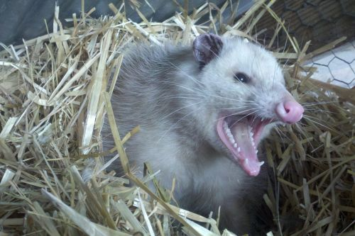 opossum possum teeth