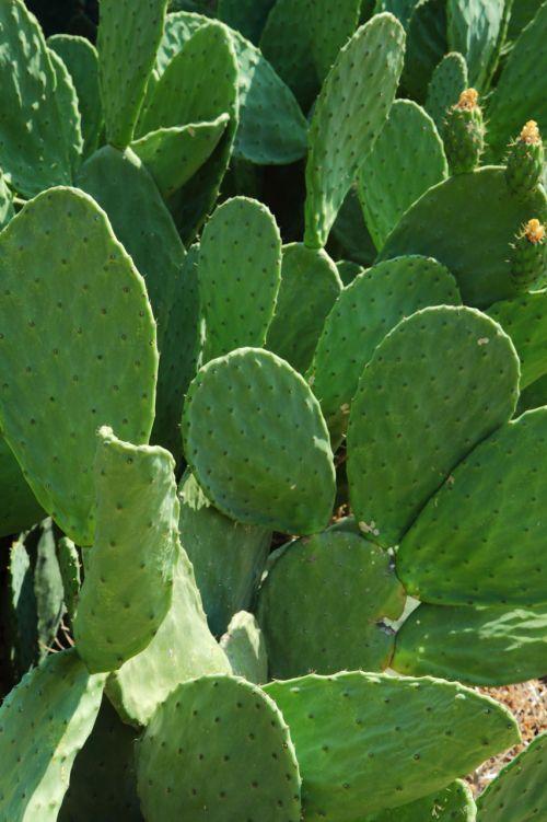 kaktusas, dykuma, valgomieji, vaisiai, žalias, lapai, opuntia, kriaušė, augalas, dygliuotas, šuoliai, spygliai, erškėtis, erškėčių, oposta kaktusas