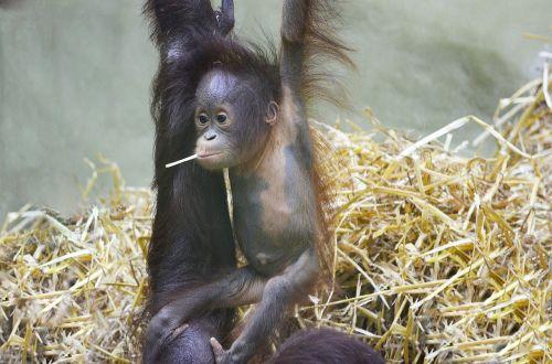 orang utan monkey baby orangutan baby