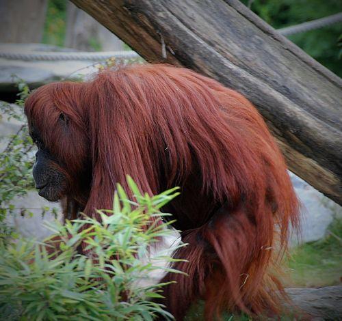 orang-utan zoo monkey