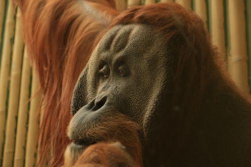 orang utan old world monkey monkey