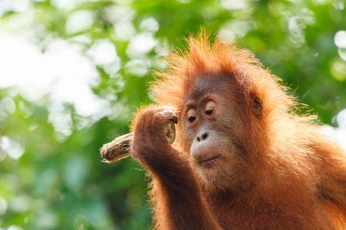 orang-utan baby monkey