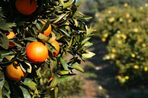 orange fruits tree