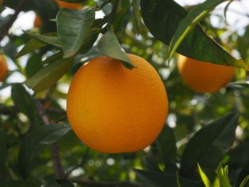 orange fruit orange tree