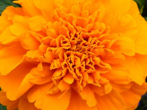 orange flower blossom