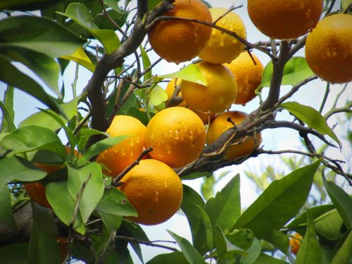 orange naranjo nature