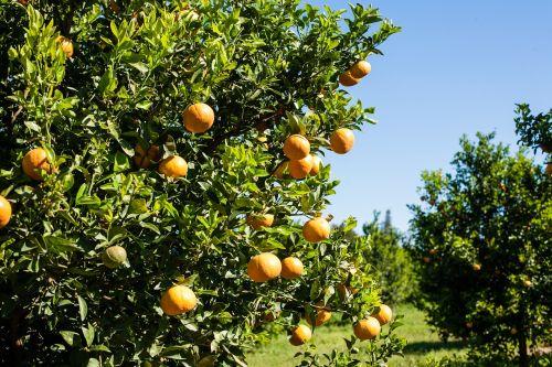 orange production packing