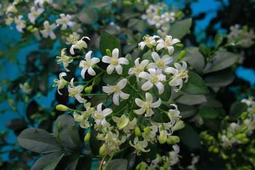 orange jessamine tropical plant