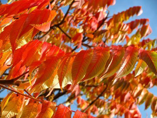 oranžinė,raudona,lapai,lapinės,medžiai,filialai,ruduo,kritimas,sezonai,sezoninis,lapija,augalai,stiebai,gamta,natūralus,šviesus,spalvinga,daugiamečiai augalai,mėlynas dangus,saulėtas,diena,flora