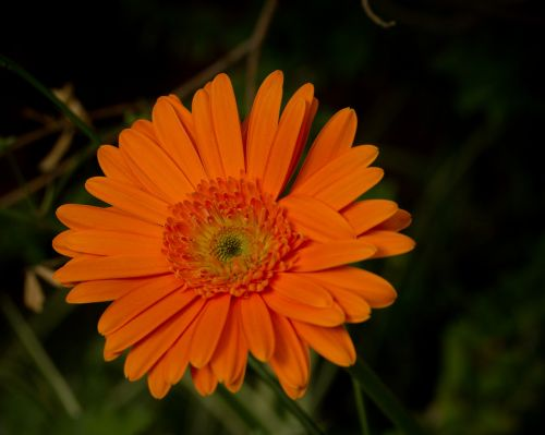 orange flower daisy