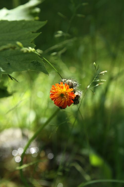 orange hawkweed composites