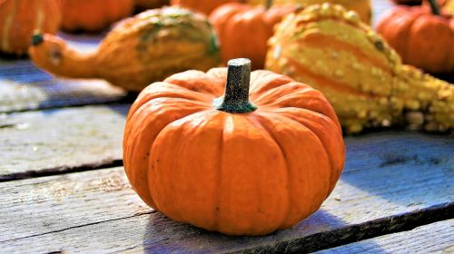 orange ornamental pumpkins the cultivation of