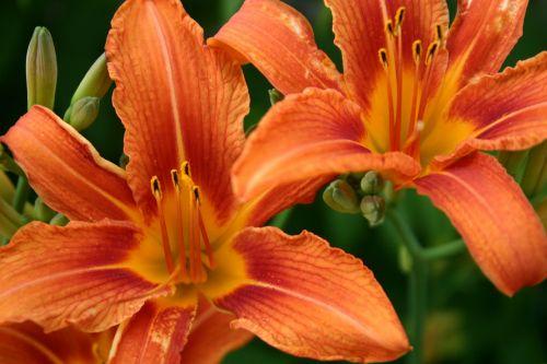 orange lily close-up