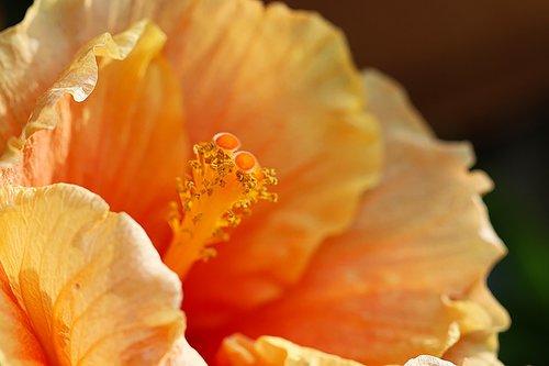 orange  stamen  petals