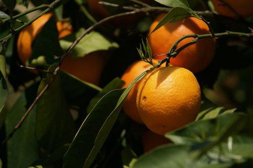 orange  citrus sinensis  citrus fruit