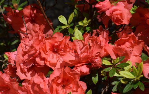 orange azalea azalea flower
