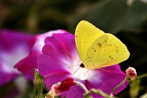 Orange-barred Sulphur Butterfly