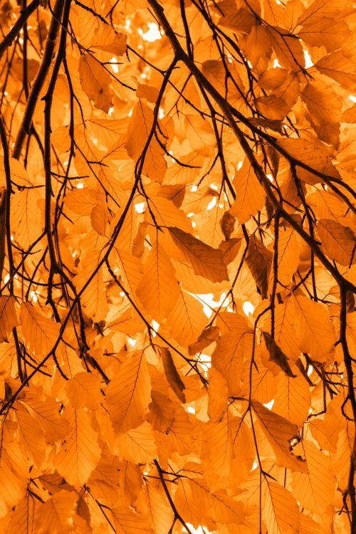 Orange Beech Leaves