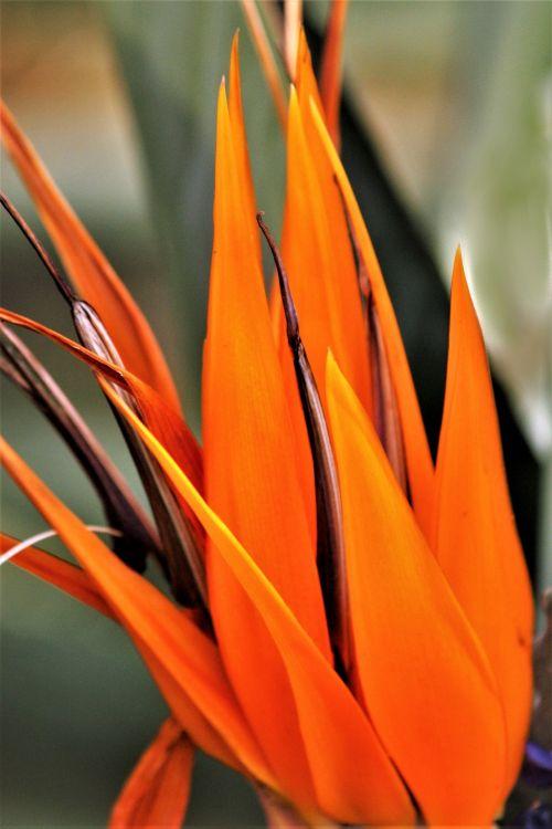 Orange Bird Of Paradise Abstract