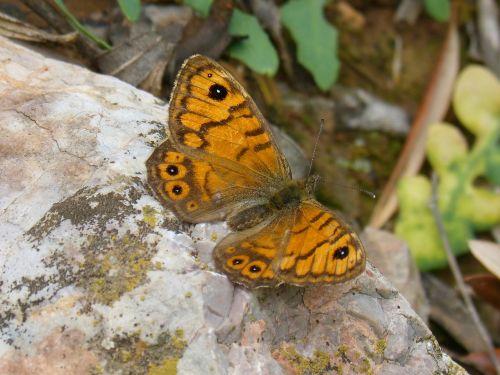 orange butterfly lasiommata megera butterfly saltacercas