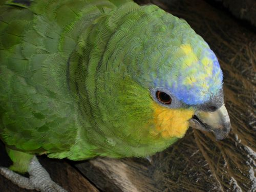 orange cheeked parrot peru nature