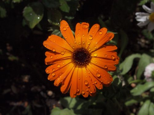 orange color flowers chrysanthemum