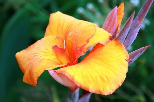 Orange Coloured Canna