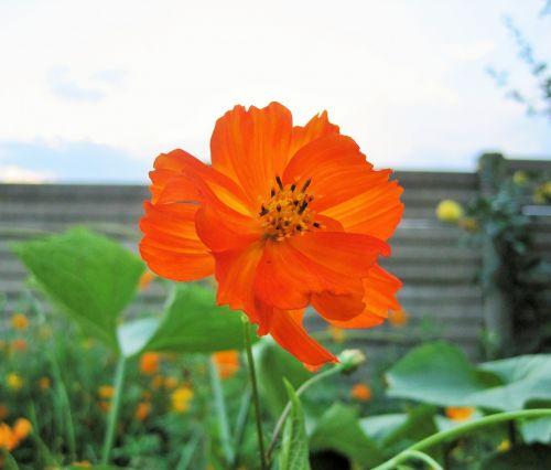 gėlė, kosmosas, oranžinė, šviesus, dangus, oranžinis kosmosas prieš dangų