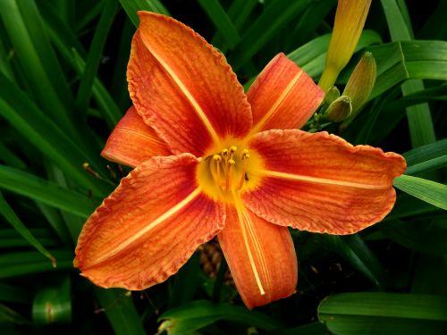 Orange Daylily Flower