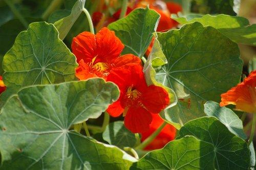 orange flower  nasturtium  bloom