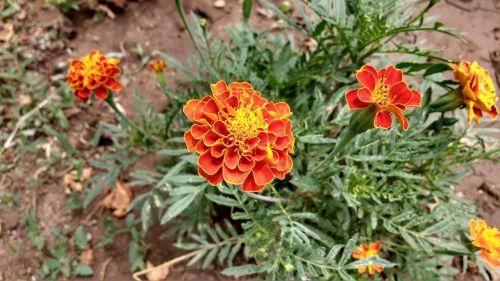 orange flower blossom glower blooming
