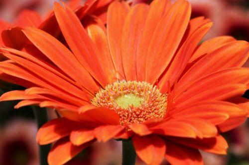 Orange Gerbera Daisy Close-up