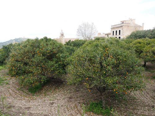 orange grove orange trees plantation