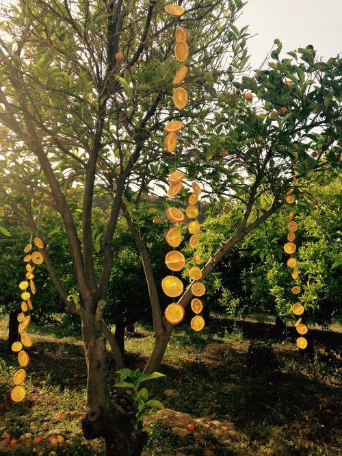 orange grove oranges grove