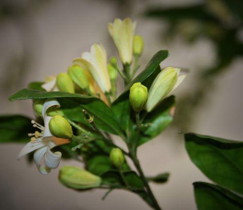 Orange Jasmine Buds