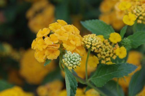 Orange Lantana Flower