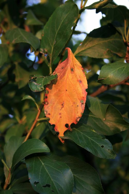 Orange Leaf Among Green