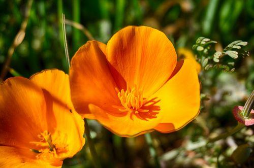 Orange Poppy Wildflower