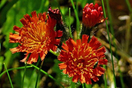 oranžinė raudona karalius velnias,oranžinė hawkweed,wildflower,raudona,oranžinė,augalai,gamta