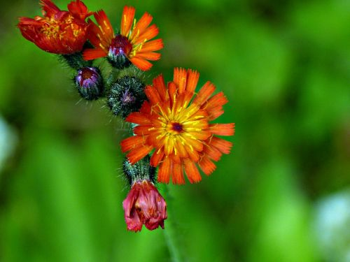 orange red kinge devil orange hawkweed wildflower