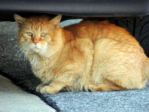 Orange Stray Cat 2
