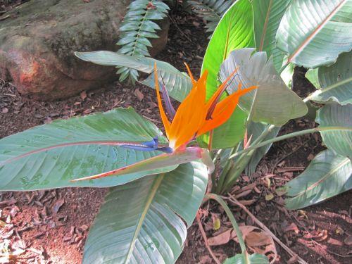 Orange Strelitzia Flower